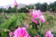 آغاز برداشت گل محمدی از باغهای سیستان و بلوچستان