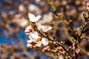 تصویر | شکوفههای «درهچای»