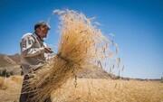 پیشبینی خرید یک میلیون تن گندم  از مزارع کردستان
