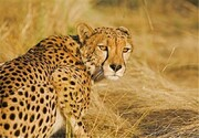 تصاویر | جنجال انتقال یوزپلنگ ایرانی از تهران به سمنان | واکنش سازمان محیط زیست
