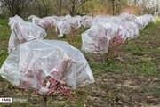 هشدار به باغداران کردستان برای مقابله با سرمازدگی درختان