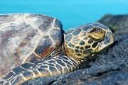 لاکپشتهای دریایی ایران در خطر انقراض