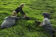 آغاز برداشت چین تابستانه چای در شمال