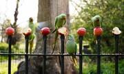 عکس روز | طوطیها سیب میخورند