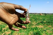 بحران در شرق آفریقا   حمله همزمان کرونا و طاعون ملخ