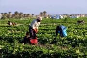 پرداخت بهای محصول کشاورزان منطقه مغان تا ۱۵ روز آینده