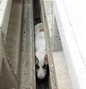 ببینید   سگ گرفتار زیر تیرهای بتونی سرخه حصار