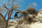 آفاتی که جنگلهای بلوط ایلام را میخشکاند