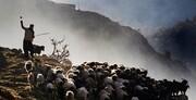 بهار گوسفندان عاشق میشوند