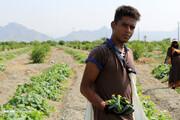 کرونا، ۱۵ هزار میلیارد ریال خسارت به کشاورزی کرمان وارد کرد | افت قیمت محصولات جالیزی
