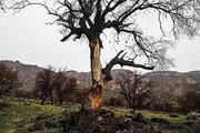 ۵۰ هزار هکتار از جنگلهای استان در آستانه خشکیدگی