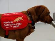 سگهای بویاب پزشکی برای شناسایی بیماران کرونا آزمایش میشوند