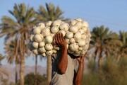 لغو عوارض صادراتی پیاز ابلاغ شد
