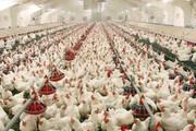 کرونا و صنعت مرغداری یزد | از خسارت۴۱۰ میلیارد ریالی تا صادرات نیمی از محصولات