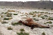 جزییات جدید درباره علت مرگ شترها