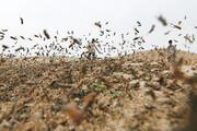 پاکسازی ۷۰ درصد از اراضی کشاورزی مراوهتپه از ملخ مراکشی