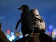 عکس | تصویری تأثربرانگیز از عشقورزی پنگوئنها