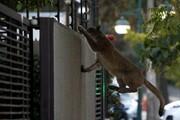 کرونا | شهرهایی که به تصرف حیوانات درآمدند