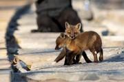 عکس روز | بچه روباهها در بهار