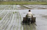 کرونا کشت مکانیزه برنج در مازندران را افزایش داد