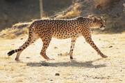 معادن یزد، بلای جان یوز ایرانی | از تخریب زیستگاه تا مرگ در جادهها
