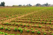 کشاورزان در برداشت چغندر قند شتاب کنند