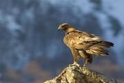 تصاویر حیرت انگیز شکار کوسه توسط عقاب