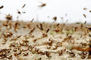 کنترل ۹۵ درصد اراضی گلستان از شیوع ملخ مراکشی