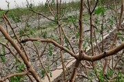 جزییات خسارت سیل و تگرگ به باغهای مهولات