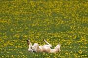 عکس روز| غلت زدن در بهار