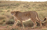 هدف از انتقال سه یوزپلنگ به استان سمنان تکثیر در زادگاهشان است