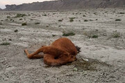 مرگ شترها در جاسک براثر سمپاشی نبود