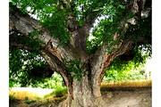 ثبت ملی درختان کهنسال گردو در فهرست میراث طبیعی کشور