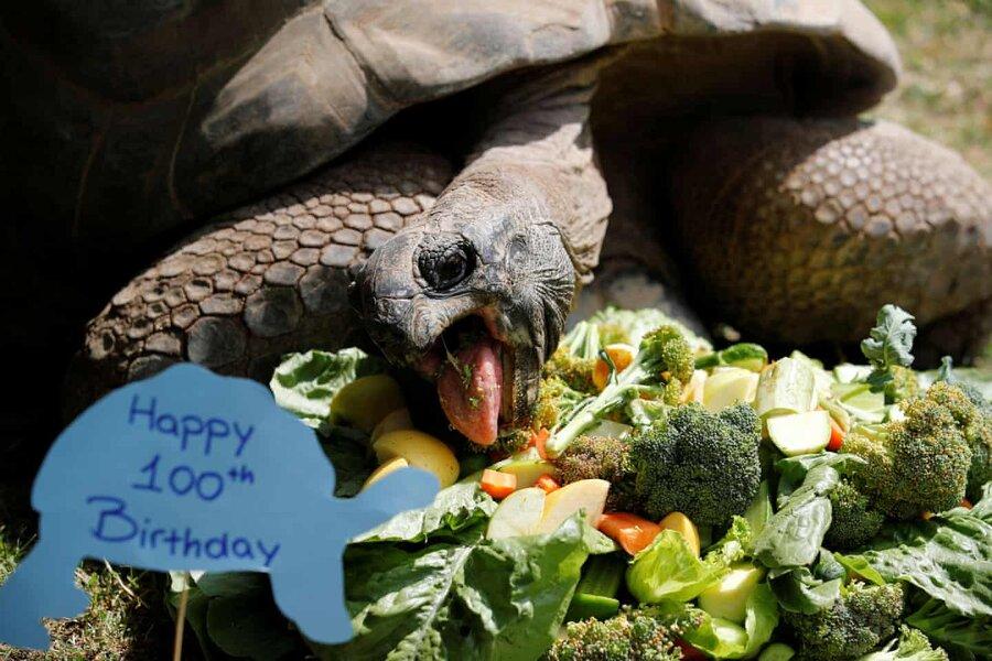 Aldabra giant tortoise,