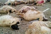 حمله گرگها به گوسفندان
