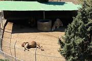 حیوانات باغ وحش صفه اصفهان را نمیتوان در طبیعت رها کرد