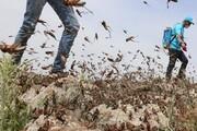 پاکسازی ۱۲۰ هکتار از مراتع ریگان از ملخ صحرایی