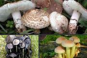 مرگ یک کودک به دلیل مسموم شدن با قارچ وحشی