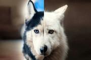 گرگاس دورگهای نترس و درنده از گرگ و سگ