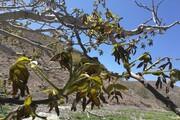خسارت ۹۴ هزار میلیاردی سرمازدگی به کشاورزی کرمان