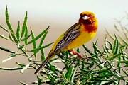 مشاهده یک گونه پرنده نادر در آرانوبیدگل