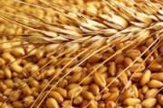 تولید ۱۰ رقم بذر گندم در پارسآباد مغان