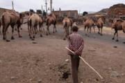 پرورش شتر در چهارمحال و بختیاری رونق میگیرد