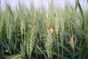 ۱۸۹ هزار هکتار از مزارع غلات قزوین تحت مراقبت علیه آفت سن هستند