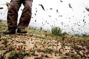 ملخ مراکشی به مزارع گلستان آسیب نزد