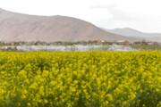 تصویر | مزارع کلزا در چهارمحال و بختیاری