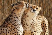 یوزپلنگها در سمنان برخط میشوند
