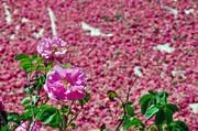 بزرگترین فرش گل محمدی جهان گسترده شد | ثبت در گینِس با حضور عوامل برنامهٔ عصر جدید