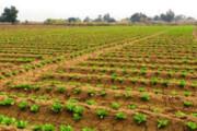 ممنوعیت کشت صیفیجات در مسیر فاضلابهای سرگردان