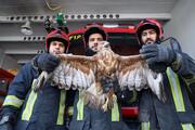 زنده گیری عقاب سرگردان در مشهد